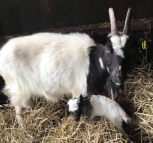 Bagot Goat and kid