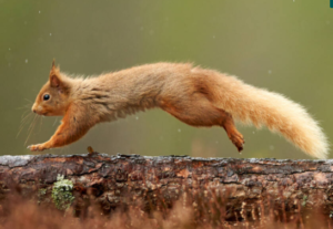 Red squirrel at Brodick Castle