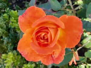Beautiful Orange Rose at Dumfries House Walled Garden